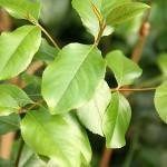 Растительное наркотическое средство под названием «Кат»